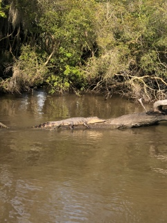 One of many gators we saw on the swamp tour